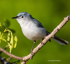 Blue-gray Gnatcatcher (Lindell Dillon) Tags: bluegraygnatcatcher neotropical birds birding nature oklahoma wildoklahoma