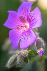 Im Garten-06688 (thosie63) Tags: 890mmtravenar aschachtulm2 altglas blumenundpflanzen zwischenringe
