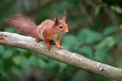 Curious squirrel (by_Dennis_Grunwald) Tags: nikon nikonz6 z6 wildlife squirrel sweden nature nikon200500mm nikonmirrorless
