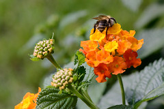 Biene auf Wandelröschen (G_Albrecht) Tags: apiformes insect lantana pterygota asteriden asternartige biene bluetengewaechs bluetenpflanze fluginsekten hautfluegler hautflügler insekt landschaft pflanze tier umwelt wandelröschen zweiflügler
