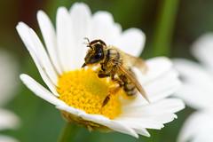 Biene (G_Albrecht) Tags: insect pterygota asteriden asternartige bluetengewaechs bluetenpflanze fluginsekten hautfluegler hautflügler insekt landschaft margeriten pflanze tier umwelt zweiflügler
