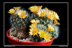 Mammillaria buamii (david_phil) Tags: mammillaria yellow flowers cacti cactus scent dprphoto