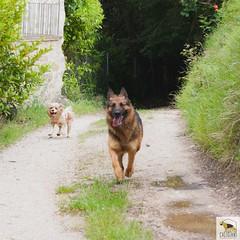 German Sherherd (Allevamento Casa Caligiani) Tags: germanshepherd pastoretedesco gsd schäferhund dog cane italia umbria natura bevagna