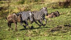 KENYAN PLAINS ZEBRA: (John C. Bruckman @ Innereye Photography) Tags: plainszebra kenya maasaimara defensivemethods predators stripes camouflage serengeti tanzania coth5 ngc naturethroughthelens