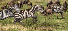 KENYAN PLAINS ZEBRA: (John C. Bruckman @ Innereye Photography) Tags: plainszebra kenya maasaimara defensivemethods predators stripes camouflage serengeti tanzania