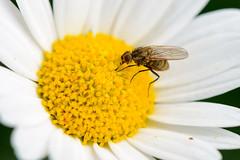 Raubfliege? (G_Albrecht) Tags: insect pterygota asteriden asternartige bluetengewaechs bluetenpflanze fluginsekten hautfluegler hautflügler insekt landschaft margeriten pflanze tier umwelt zweiflügler