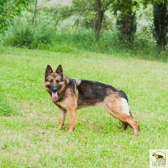 German Sherherd (Allevamento Casa Caligiani) Tags: germanshepherd pastoretedesco schäferhund dog gsd cane umbria natura bevagna