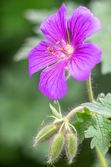 Im Garten-06627 (thosie63) Tags: altglas blumenundpflanzen pentacon28135mm zwischenringe