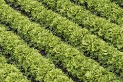 Lechugas en diagonal (Guillermo Relaño) Tags: lechuga cultivo diagonal verde green sony guillermorelaño a7 a7iii a7m3 alfa alpha ilce vegadepas