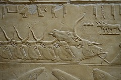Bulls (pjpink) Tags: tomb burialchamber kegemni vizier ancient egyptian history carving detailed saqqara egypt january 2019 winter pjpink 2catswithcameras
