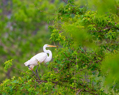 Perched Egret (AChucksEyeView) Tags: egret bird feathers perch tree green wisconsin nature wildlife