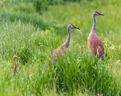 Sandhill Crane Family (AChucksEyeView) Tags: sandhill crane bird green grass feathers wildlife wisconsin marsh