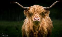 Highland Cattle (bin.angeknipst) Tags: fortaugustus scotland vereinigteskönigreich animalsofinstagram bighorns cattle coosday cottagelife countrylife cow cowoftheday cowsofinstagram cuteanimals farm farmanimals farmlife folknature goodhairday hiddenscotland highlands highlandcattle highlandcow highlanders horns lifeonthefarm rural scotlandlover scottishhighlands travelscotland visitscotland earthpics ourmoodydays