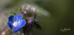 macro flower (jean milande) Tags: fleur flower bleu macro photo minuscule