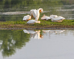 Reflecting Pelicans (AChucksEyeView) Tags: pelican wildlife nature reflection water wisconsin bird