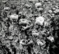 An urban buzz (suzannesullivan2) Tags: poppies flowers ilforddelta100 bronica bees bw film analogue city london