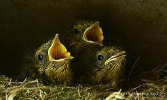 Robin Chicks (© Freddie) Tags: london se16 bermondsey rotherhithe britishbird bird robin nestlings chick wildlife fjroll ©freddie