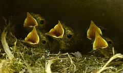 Robin Nestlings (© Freddie) Tags: london se16 bermondsey rotherhithe britishbird bird robin nestlings chick wildlife fjroll ©freddie