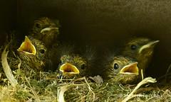 Robins Nest of Five Chicks (© Freddie) Tags: