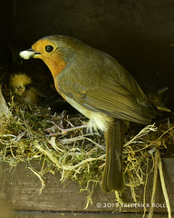 Cleaning (© Freddie) Tags: london se16 bermondsey rotherhithe britishbird bird robin nestlings chick wildlife fjroll ©freddie fecalsac
