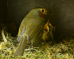 """Grub's Up"" (© Freddie) Tags: london se16 bermondsey rotherhithe britishbird bird robin nestlings chick wildlife fjroll ©freddie feeding"
