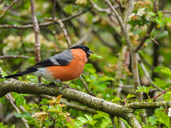 Male Bullfinch | Ball Grove Park (Pendlelives) Tags: ball grove park woodland wood nature wildlife colne trawden marsden nelson pendle pendlelives nikon p1000 zoom bird birds water vibrant plants vegetation clear photography ornithology male bullfinch bull finch colours red chest black head snail