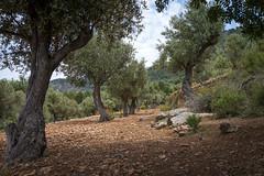 Miramar (janetfrerichs) Tags: mai2019 mallorca urlaub sóller balearischeinseln spanien olive olivetree tree nature terrace miramar landscape landschaft fullframe vollformat 35mm sigmaart sigma
