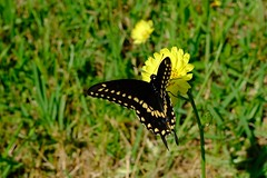 Black Swallowtail on Dandilion (Gene Ellison) Tags: insect blackswallowtail butterfly yellow spots plant flower dandilion grass naturephotography fujifilm velvia sooc nature natural photography texas spring 2019