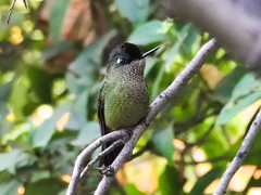 Picaflor chico (Sephanoides sephanoides). (Andres Bertens) Tags: 8499 olympusem10markii olympusomdem10markii olympusm75300mmf4867ii olympusmzuikodigitaled75300mmf4867ii rawtherapee bird sephanoidessephanoides picaflor hummingbird