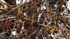 Otoño / Autumn. (Andres Bertens) Tags: 8482 olympusem10markii olympusomdem10markii olympusm75300mmf4867ii olympusmzuikodigitaled75300mmf4867ii rawtherapee otoño autumn liquidámbar liquidambarstyraciflua tree