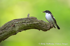 Male Pied Flycatcher with Hoverfly (www.andystuthridgenatureimages.co.uk) Tags: pied flycatcher male branch perch food feeding hoverfly prey migrant tree wood woodland peak district nationalpark padleygorge
