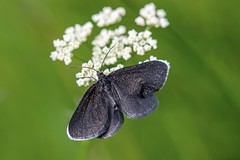 Chimney Sweeper (Odezia atrata) (gavsidey) Tags: natural nature black moth chimney sweeper insect macro ngc d500