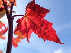 Red leaf against the blue sky (Landanna) Tags: leaf blad sky lucht himmel nature natur natuur