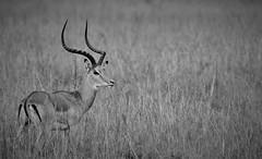 Impala ram   Aepyceros melampus (wildcaty) Tags: maleimpalaserengeti antelope africa safari impala tanzania africanantelope africanwildlife ungulate impalabuck blackandwhite wildlifeinblackandwhite bw nikon