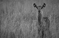 Female Defassa Waterbuck   Kobus ellipsiprymnus (wildcaty) Tags: femalewaterbuckserengeti waterbuck antelope africa safari serengeti tanzania africanantelope africanwildlife defassawaterbuck nature blackandwhite bw wildlifeinblackandwhite