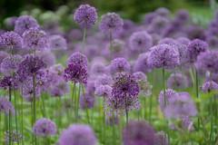 Allium (jillyspoon) Tags: harrogate harlowcarrgardens allium purple dof sony sonya7iii sonyalpha rhs the flowerbed onion spherica spherical purpleflowers