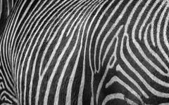Cebra (Guillermo Relaño) Tags: cebra zebra sony alpha alfa ilce a7 a7m3 a7iii cabarceno parquenatural cantabria españa spain guillermorelaño