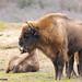 European bison in the Netherlands - Zuid-Kennemerland National Park