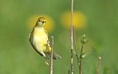 Instantané / Snapshot (alainmaire71) Tags: oiseau bird parulidae parulidés dendroicapetechia parulinejaune yellowwarbler nature quebec canada jaune yellow bokeh
