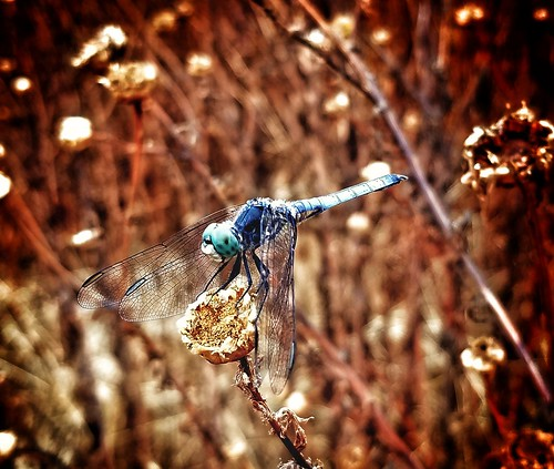 """sdj1088 Dragonfly • <a style=""""font-size:0.8em;"""" href=""""http://www.flickr.com/photos/13833380@N00/47980292538/"""" target=""""_blank"""">View on Flickr</a>"""