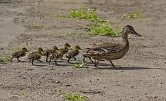 IMG_8552 Mallard, Family outing ! (Dennis Swaby) Tags: bird duck wildfowl mallard mallardwithchicks