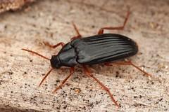Melandrya barbata (Radim Gabriš) Tags: coleoptera tenebrionoidea melandryidae melandrya beetle insect macro barbata