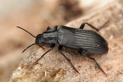 Melandrya dubia (Radim Gabriš) Tags: coleoptera tenebrionoidea melandryidae melandrya beetle insect macro dubia