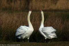 Mute Swans I32378 (wildlifetog) Tags: mbiow martin marshes mute blackmore britishisles birds british brading isleofwight uk swans wild wildlife rspb
