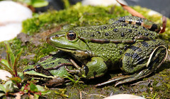Green Frogs. (Chris Kilpatrick) Tags: chris canon canon7dmk2 sigma sigma150mm600mm outdoor wildlife nature animal amphibian frog green gardens autreppes picardie france laisne pond bassin spring may