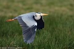 Grey Heron in flight I32002 (wildlifetog) Tags: grey heron isleofwight inflight mbiow marsh marshes blackmore britishisles birds british brading bird wild wildlife martin rspb