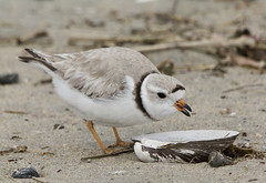 Piping Plover (barbmerrill2) Tags: bird plover plumisland newbury massachusets usa charadriusmelodus