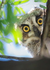 Great Horned Owl Juvenile (Jami Bollschweiler Photography) Tags: great horned owl juvenile feather looking me wildlife photography utah