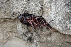 I felt a Funeral, in my Brain... (Eliza Eska) Tags: cockroach roach ant hole nest insect