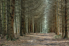 Pinewood forest, Kell am See (Germany) (werner.marx.kell) Tags: kellamsee forest pinewoodforest sigmadp3m foveon